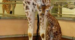 Baby Giraffe & parent