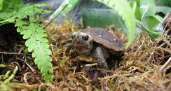 Home's Hingeback Tortoise 3