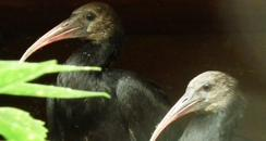 Waldrapp Ibis