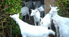 Goats At Museum in Gosport..