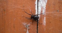fake false widow spider black
