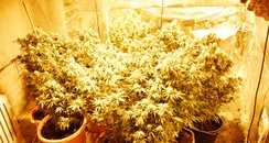 St Neots Cannabis