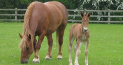 Suffolk Punch Colt Foal