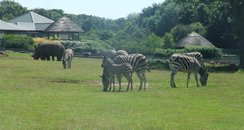 Zebra foal arrives!