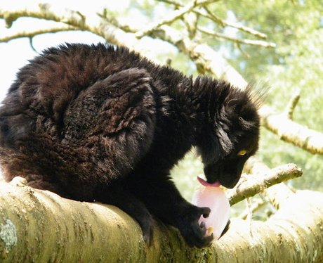 Animals at Cotswold Wildlife Park enjoy ice lollie