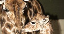 mum and baby giraffe
