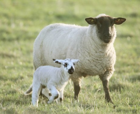 Cute spring lambs - Cutest Pictures Of The Week - 6 ...
