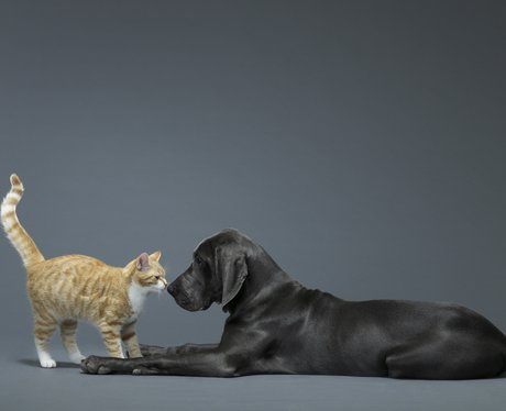A ginger cat and black labrador playing
