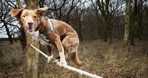 Ozzy the tightrope walking dog