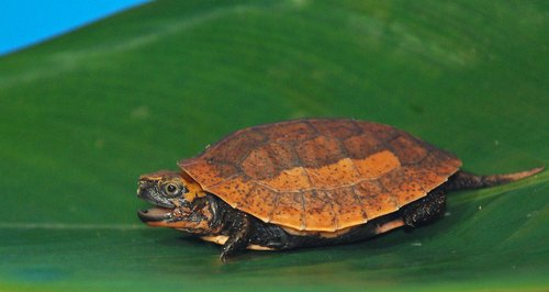 Vietnamese Box Turtle