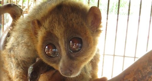 Kalo the slow loris