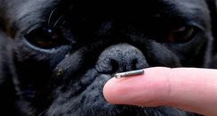 Dog and microchip