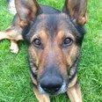 Herts Police Dog Finn 3