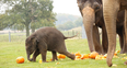 Elephants smashing pumpkins at Whipsnade zoo