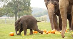 Elephants smashing pumpkins at Whipsnade zoo