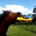 horse with rubber chicken toy