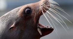 Sea Lion Bella Blair Drummond